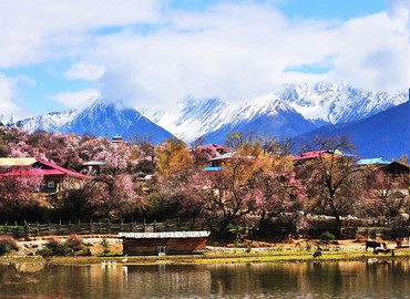 In spring, bunches of the wild peach flowers are blooming on the plain, accompany with the snow-capped mountains in the distance and the blue sky above the head