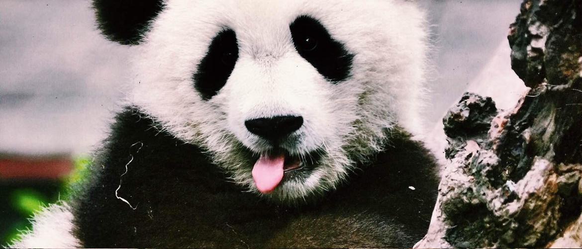 funny face of giant panda