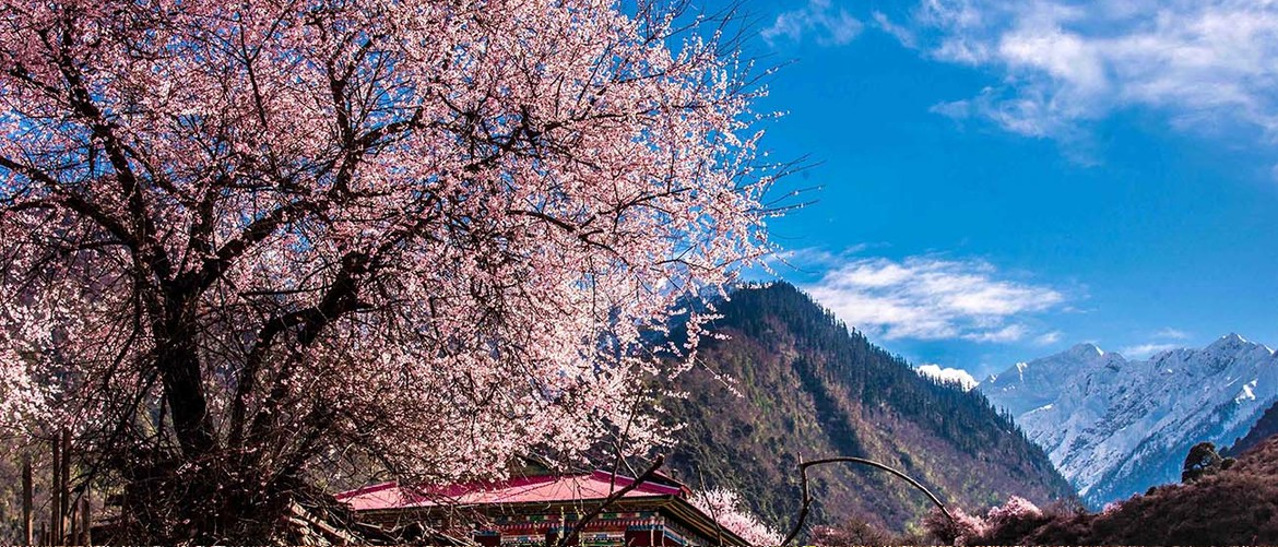 The peach flowers would blossom in Nyingchi in Spring, which is the most beautiful moment.