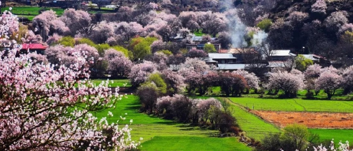 From late March to April, the peach blossom in Nyingchi will show you the best beautiful moment of this land.